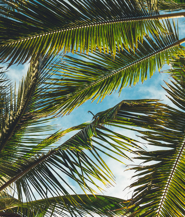 looking up at blue sky through many green lush palm leaves