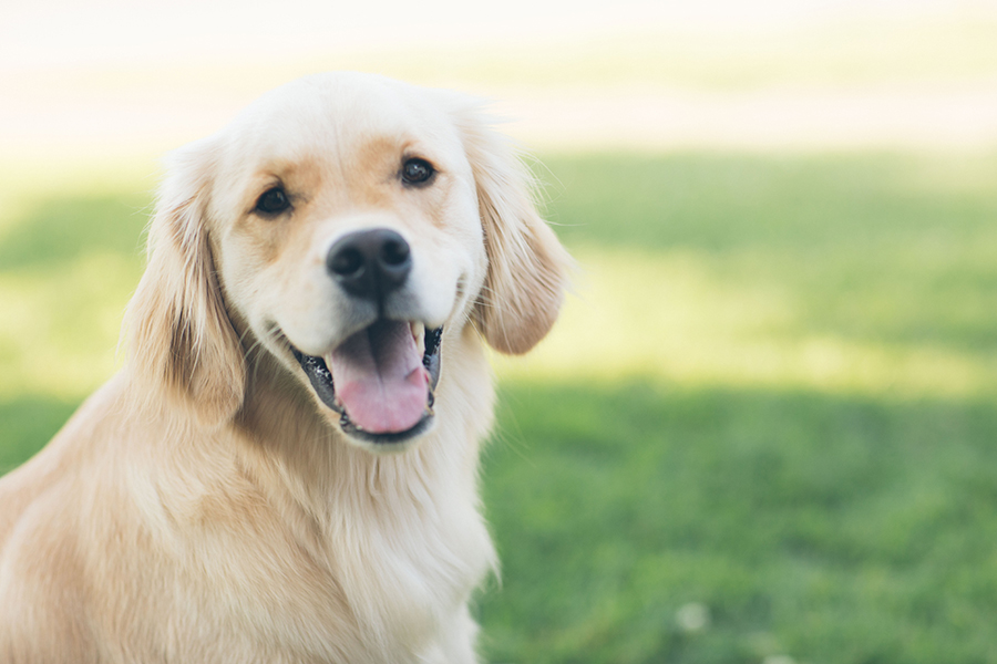 Young golden retriever dog smiles outside in sunny grassy area.