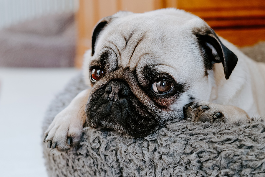 Detail of small pug dog's face sleeping on dog bed.