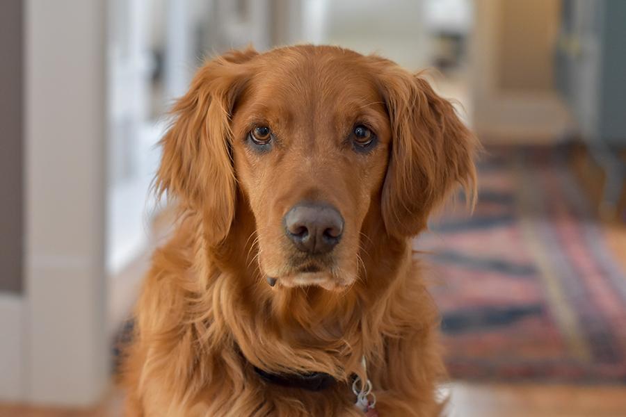 Golden retreiver dog in hallway with rug.