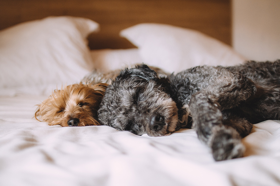 Two fluffy dogs sleeping on bed with clean white bedding and pillows.