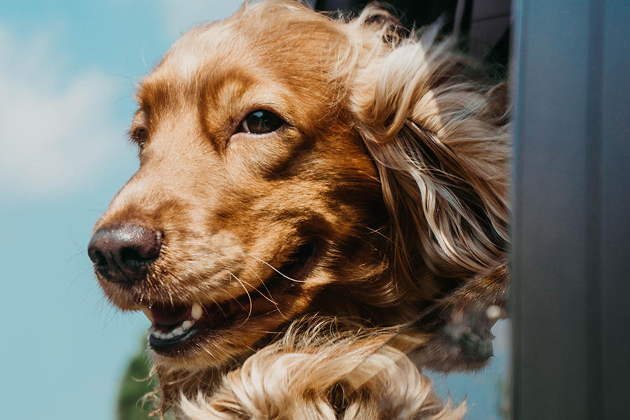 Happy smiling golden retriever dog rides with head outside car window.
