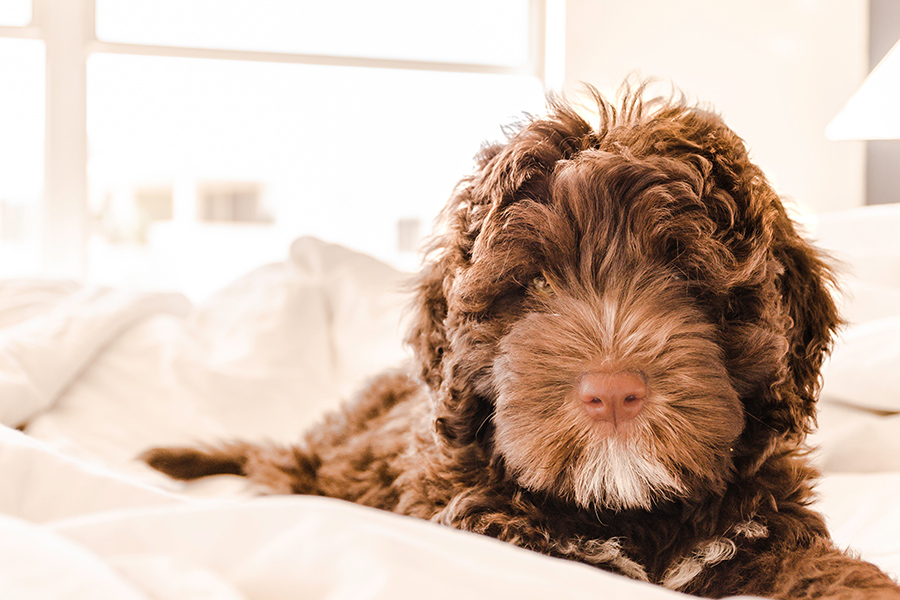 Brown labradoodle dog laying on white bedsheets.
