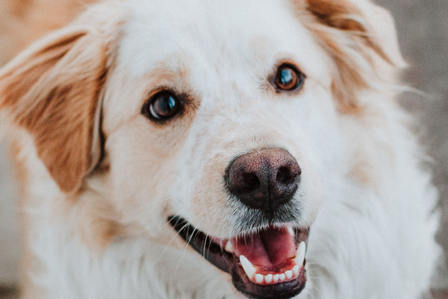 close up of dog looking up with mouth open and ears perked